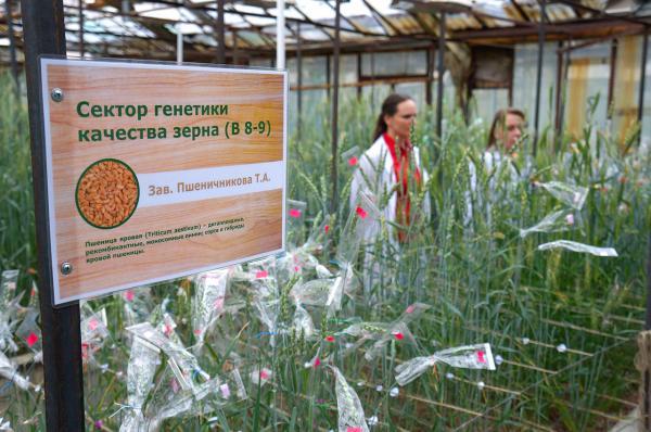 Мы единственные в России занимаемся генетическими исследованиями качества зерна пшеницы