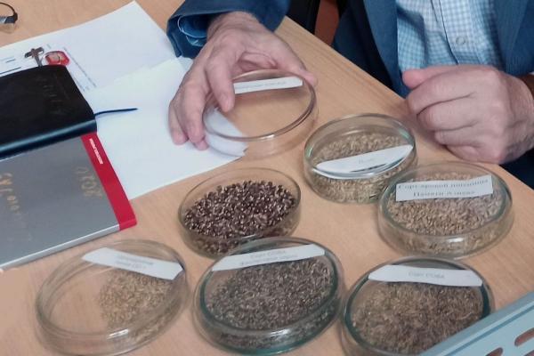 Омские селекционеры вывели новые сорта пшеницы, которые помогут повысить иммунитет