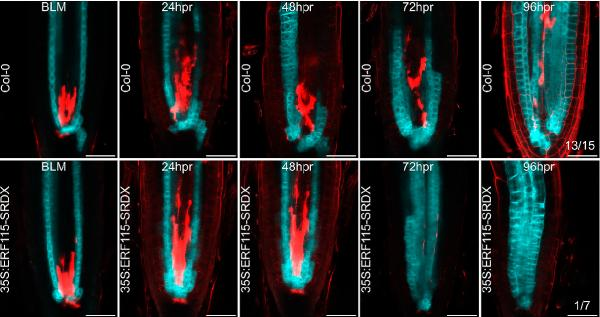 Как ауксин помогает растению залечить раны