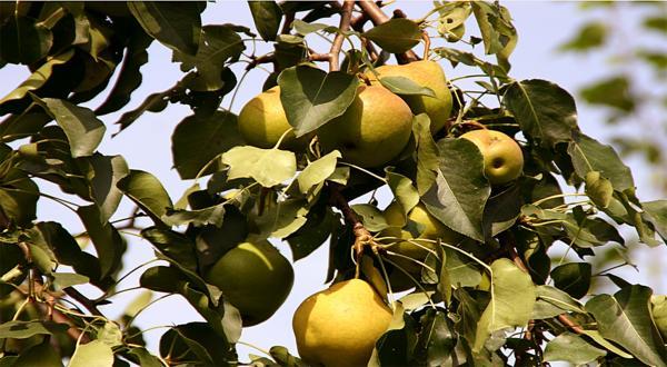 Генофонд дальневосточных растений можно успешно использовать в интересах сибирского садоводства