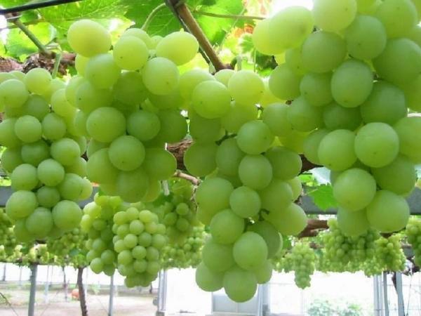 О подзабытой истории промышленного возделывания винограда на Алтае