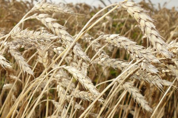 Селекционеры подводят итоги полевого сезона