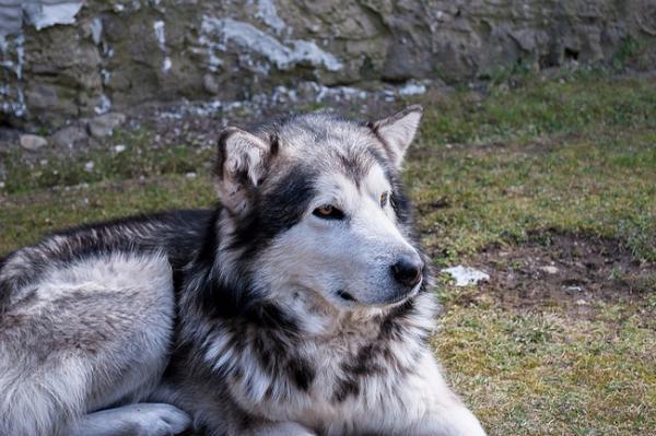 В Сибири нашли возможные древнейшие свидетельства одомашнивания собак