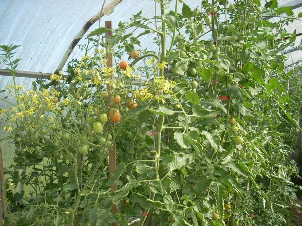 Сорта овощей селекции СибНИИРС неплохо показали себя на дачных участках в условиях «экстремального» сезона