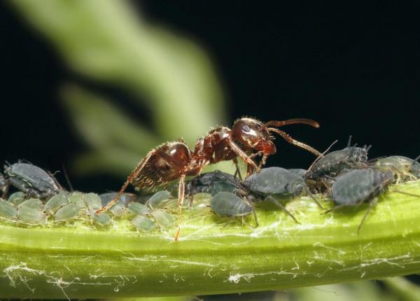 Ученые исследовали распределение поведенческих черт и когнитивных функций в колониях муравьев