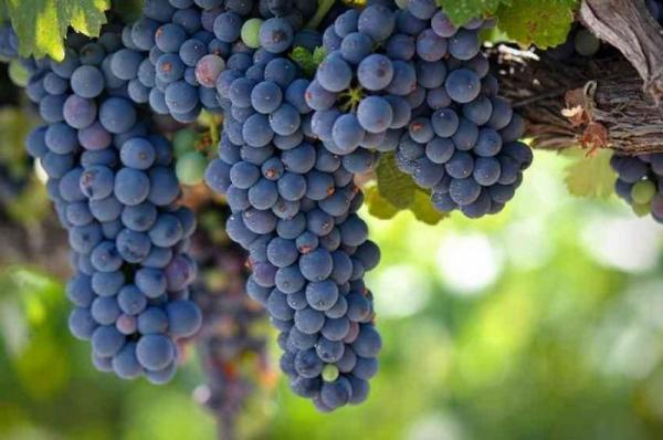 Продолжаем рассказ об экспериментах виноградарей в Сибири