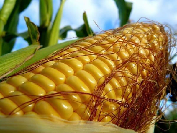 Генно-модифицированная кукуруза оказалась безопаснее натуральной