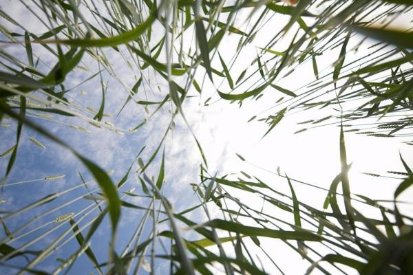 Новые сорта озимой пшеницы создают селекционеры СибНИИРС