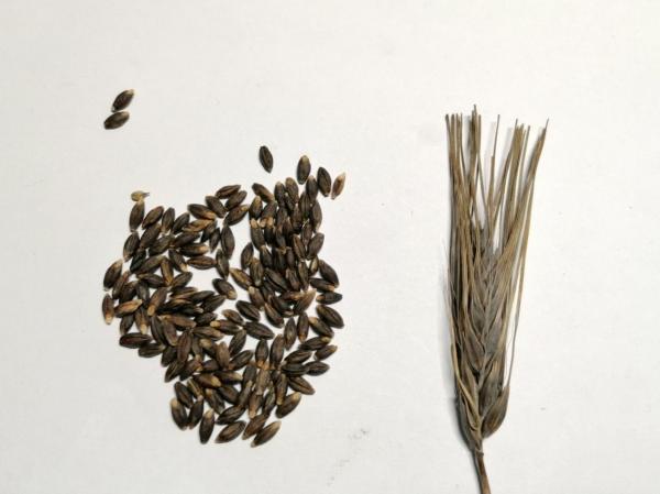 Опубликованы результаты исследования, посвященного образованию меланина – в растениях