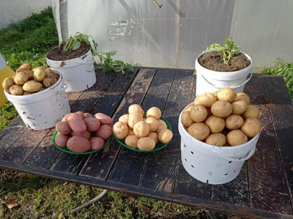 Ученые и семеноводы подводят итоги сезона для новых сортов картофеля