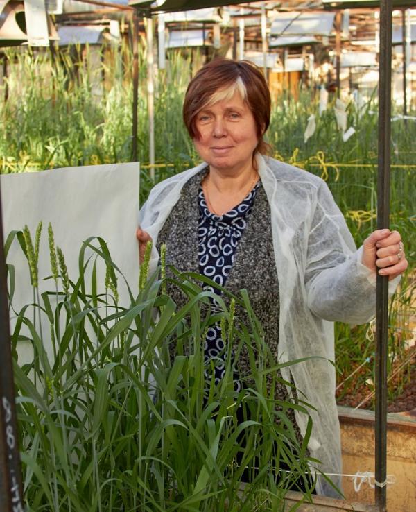 Новосибирскиегенетики работают над сортами зерновыхс повышенным содержанием цинка