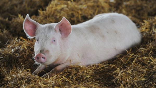Китайские исследователи создали ГМ-свиней, которые устойчивы к смертельному вирусу