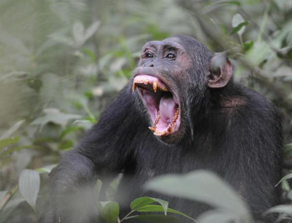 Как в Уганде шимпанзе объявили войну местным фермерам