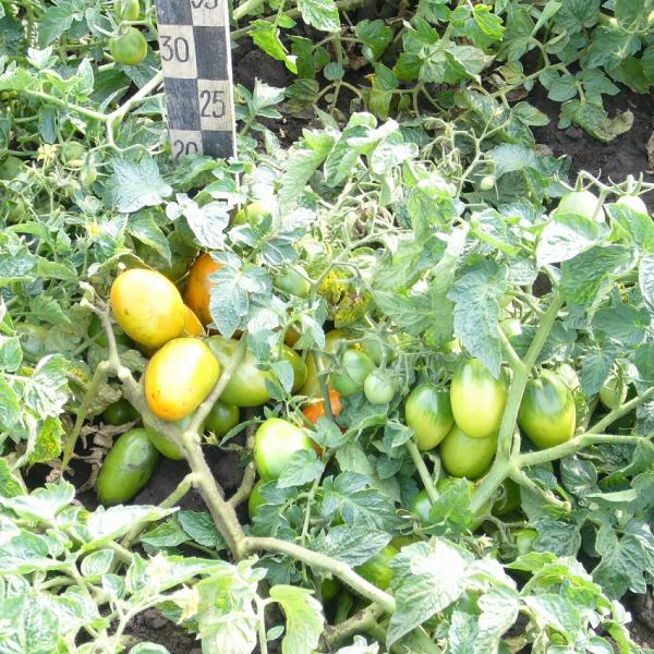 Специалисты-овощеводы СибНИИРС получили поддержку со стороны коммерческой компании