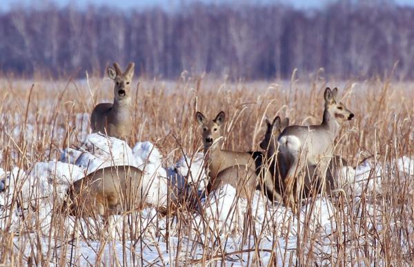 Популяция сибирской косули благополучно завершила еще одну зимовку в заказнике «Кирзинский»