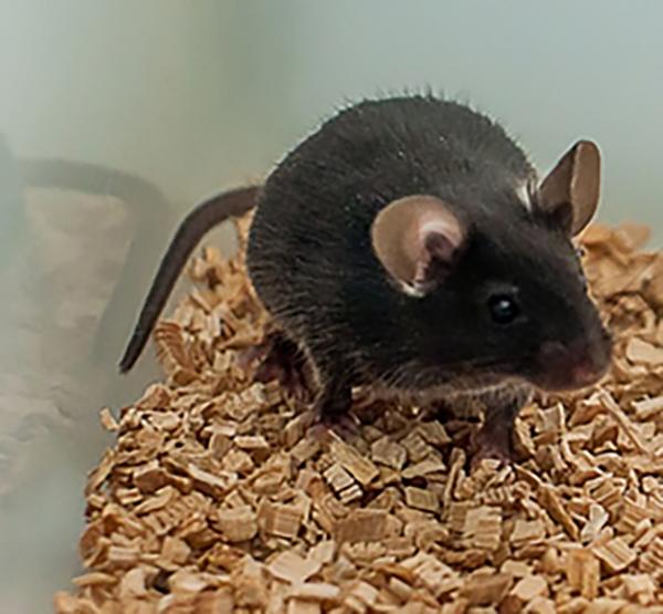 Ученые изучили влияние зерна с антоцианами на профилактику заболеваний