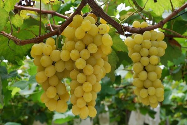 Новосибирские садоводы замахиваются на престижную виноградную «классику»