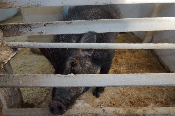 """Накануне Нового года ФИЦ """"ИЦиГ СО РАН"""" пригласил журналистов в гости на свою экспериментальную свиноферму"""