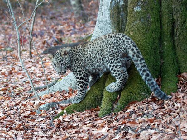Как восстанавливают популяцию переднеазиатского леопарда