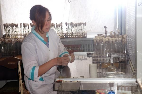 Филиал ИЦиГ СО РАН – СибНИИРС – рассказал журналистам о том, как идет возрождение картофелеводства в Сибири