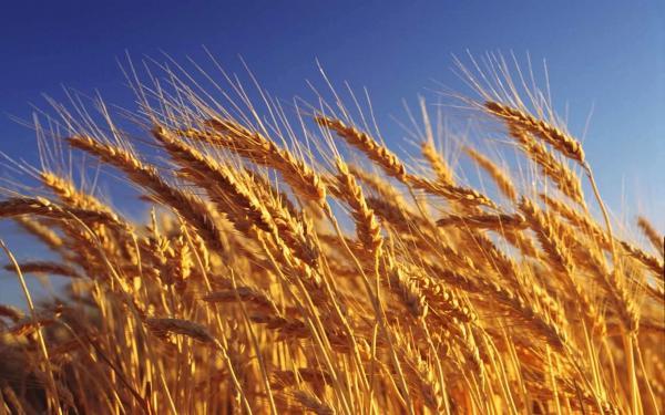 Ученые ИЦиГ СО РАН обращают мутации в генах пшеницы в свою пользу