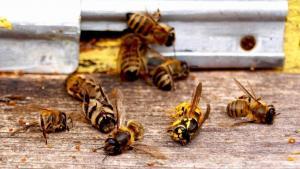 Пчелы – главные опылители многих культур. Соответственно, их исчезновение приведет к снижению урожайности
