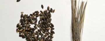 Опубликованы результаты исследования, посвященного образованию меланина в растениях