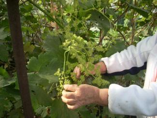 Сумма «виноградных» технологий – для энтузиастов и для «ленивых»