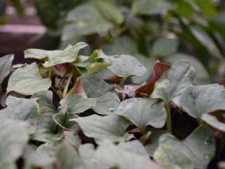 Учёные Центрального сибирского ботанического сада СО РАН изучили состав этого растения, использующегося в качестве приправы