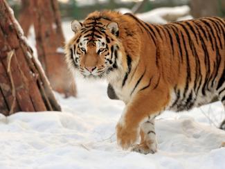 Самые известные проекты по восстановлению популяций редких животных в России
