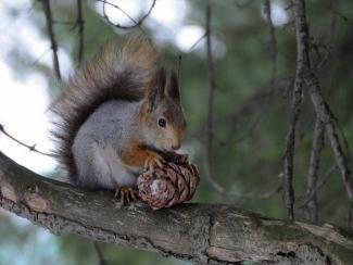 Белки остались без орехов на зиму в парках Новосибирска