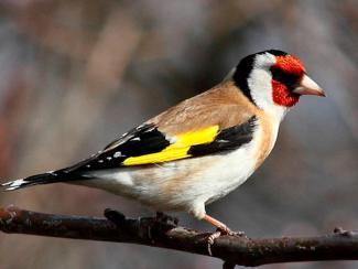 Новосибирские ученые нашли у певчих птиц дополнительную хромосому