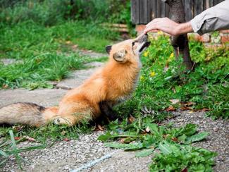 Сибирские ученые ответили на скепсис американцев про одомашненных лис