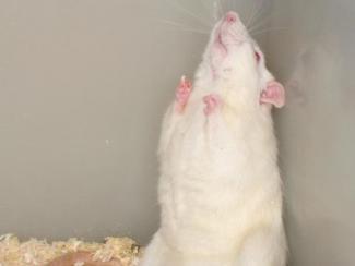 Ученые ИЦиГ изучат механизмы шизофрении на крысах
