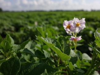 Ученые рассказали о новых способах борьбы с болезнями картофеля