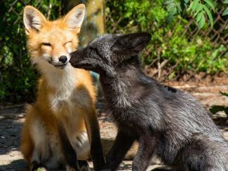 Зачем выводят агрессивных лисиц новосибирские ученые