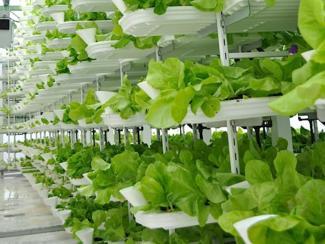 Смогут ли сити-фермы конкурировать с традиционным тепличным хозяйством?