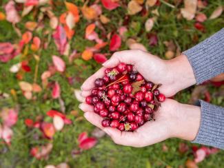 Учёные Ботсада разработали высокоэффективную технологию выращивания этой ягоды