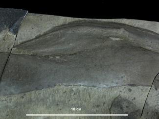 Сибирские палеонтологи исследуют водоросли докембрийского периода