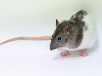Серые крысы - не просто вредители, а важные лабораторные животные