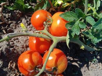 """СибНИИРС сдал в госиспытания новые сорта овощей """"салатного набора"""""""