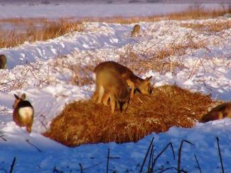 Сибирская косуля в заказнике «Кирзинский» завершила зимовку без потерь