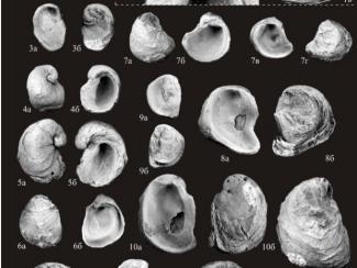 Специалисты ИНГГ СО РАН продолжают изучение ископаемых устриц