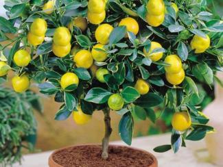 О социальном значении выращивания экзотических плодовых растений в домашних условиях