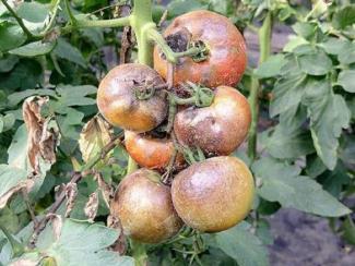 Как грамотно уберечь овощные культуры от инфекционных напастей: советы специалиста