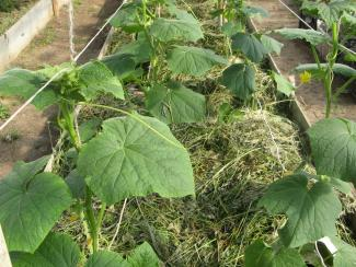 Важные нюансы при выращивании в теплицах огурцов селекции СибНИИРС