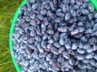 Как правильно выращивать эту ягоду, чтобы собирать урожай не стаканами, а ведрами