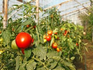 Продолжаем знакомить вас с разнообразием сортов овощей селекции СибНИИРС