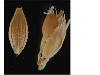 Новосибирские генетики улучшают свойства ячменя